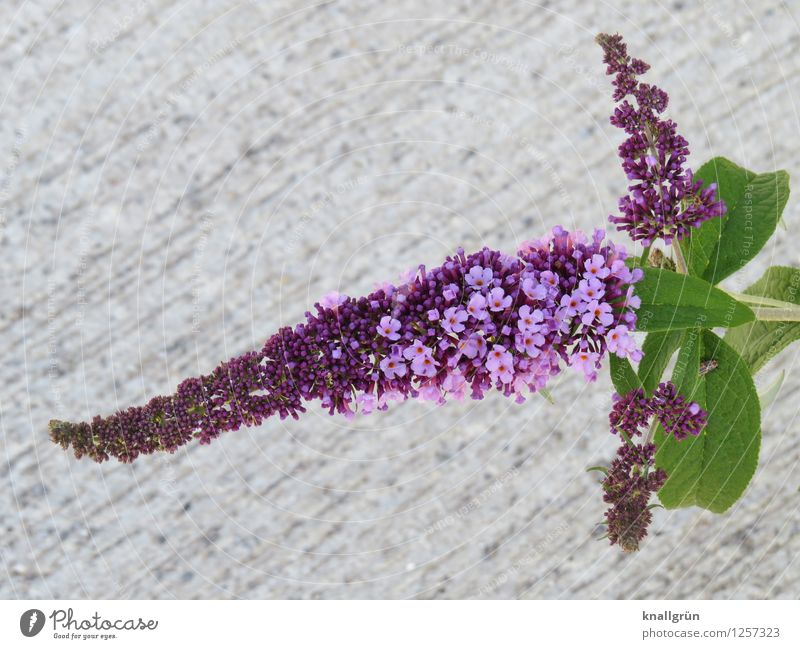 For butterflies Plant Bushes Leaf Blossom Buddleja Blossoming Fragrance Natural Gray Green Violet Colour Nature butterfly plant Apiaceae Umbellifer Colour photo