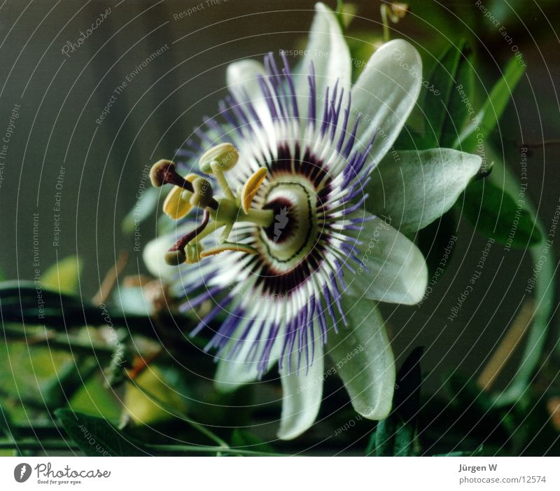 passion flower Flower Blossom Passion flower Green Violet Nature bloom