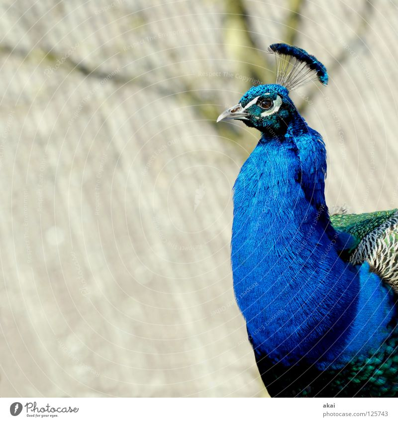 Beautiful Animal Bird Peace Hunting Testing & Control Watchfulness Caution Warped Hunter Peacock Freiburg im Breisgau 2008