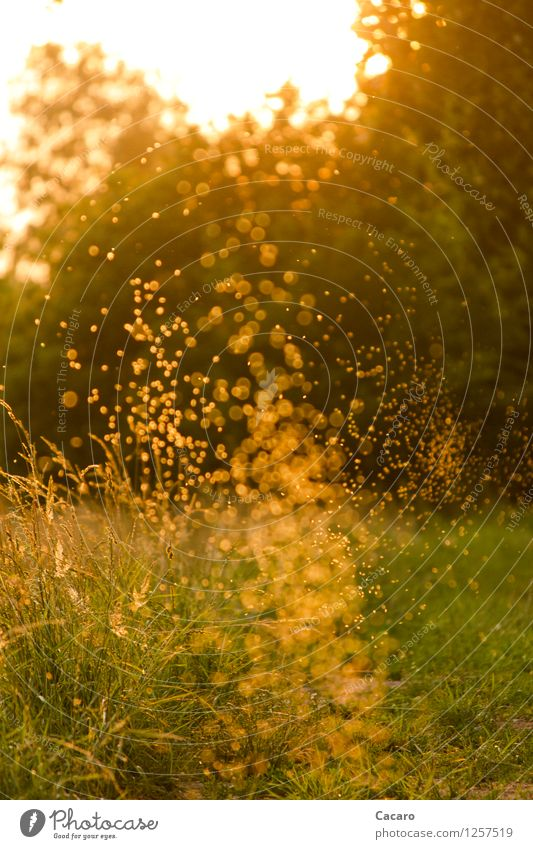Mosquito dance 2 Happy Allergy Relaxation Calm Summer Sun Garden Environment Nature Plant Sunrise Sunset Beautiful weather Warmth Grass Meadow Mosquitos