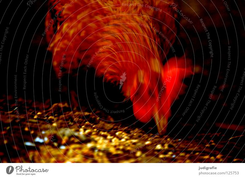Colour Red Movement Bird Nutrition Feather Wing Agriculture Grain Farm Pet Dynamics Beak Livestock breeding Feed
