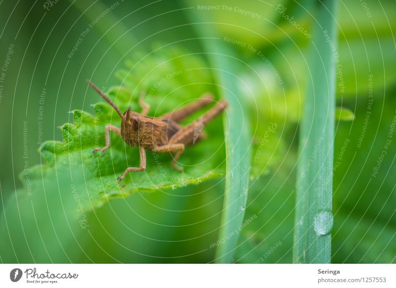 Grasshopper Egon Plant Animal Beetle Animal face 1 Crouch Jump Dryland grasshopper Colour photo Multicoloured Exterior shot Close-up Detail