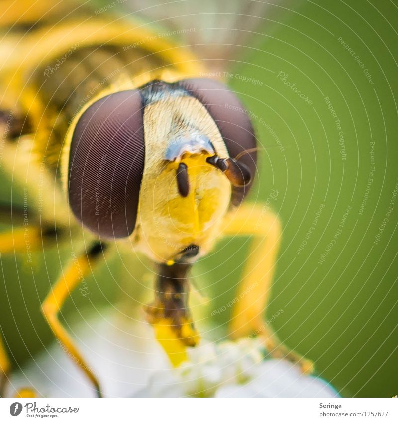 Eyes...( glances ) of the hoverfly Plant Animal Fly Animal face 1 Flying To feed Wait Hover fly Colour photo Multicoloured Exterior shot Close-up Detail