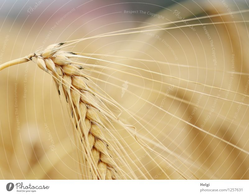 have the ear... Food Grain Environment Nature Plant Summer Beautiful weather Agricultural crop Barley Barley ear Barleyfield Cornfield Field To dry up Growth