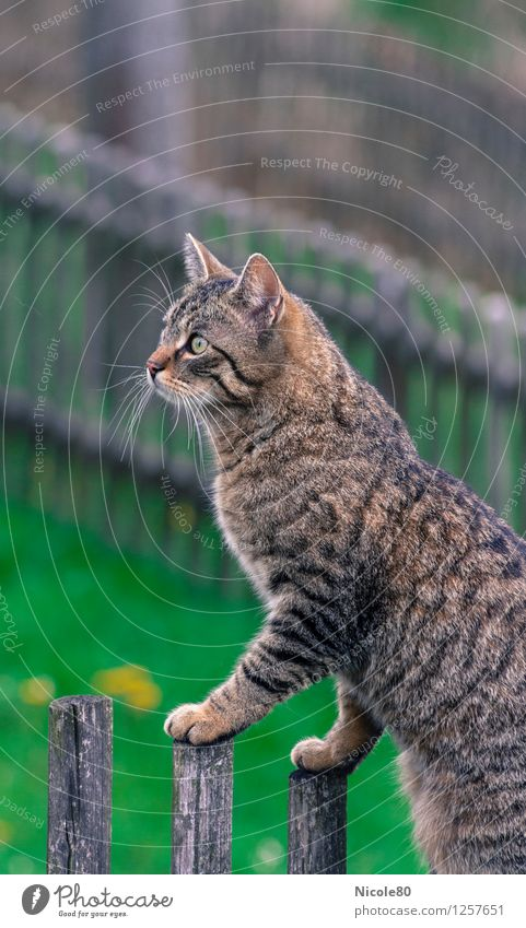 Cat Clemens on the stalk Pet 1 Animal Watchfulness Observe Domestic cat Tiger skin pattern Looking Garden fence Colour photo Exterior shot Deserted