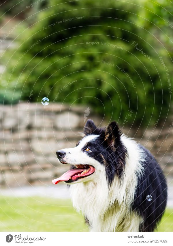 Dog, border collie, watching bubble Joy Playing Garden Animal Grass Pet 1 Observe Happiness Cuddly Cute Black White Soap bubble Action cheerful Copy Space