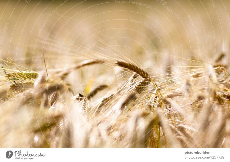 Nature Plant Summer Yellow Field Harvest To dry up Wheatfield