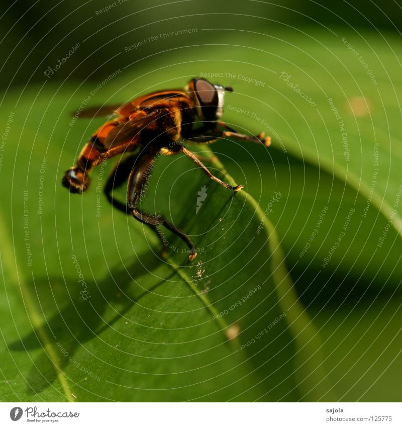 Nature Green Leaf Animal Legs Fly Insect Stripe Wild animal Striped Hover fly