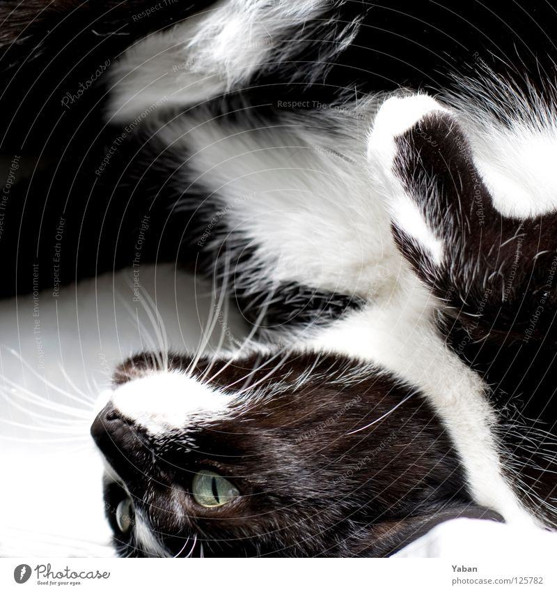 Cat White Joy Black Hair and hairstyles Soft Paw Mammal Moustache Whisker Meow Cat's paw