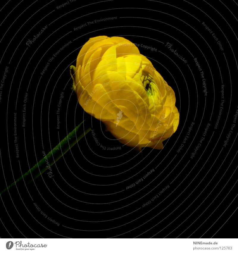 Ranunculus blossom Flower Blossom Blossom leave Blossoming Yellow Black Green Flower stem Crowfoot plants Dark Spring Summer Seasons Airy Plant Flower shop