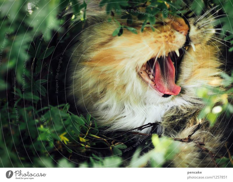 Cat Nature Animal Emotions Hair and hairstyles Bushes Set of teeth Pet Scream Aggression Tongue Muzzle Yawn Cat's head Cat's tongue