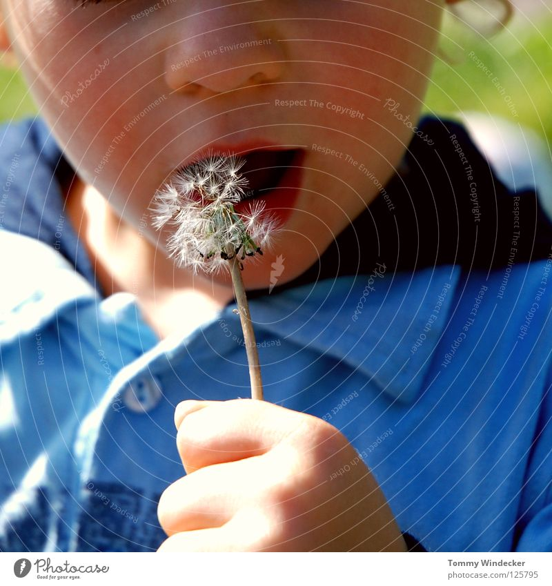 Peter Lustig Junior Child Toddler Boy (child) Dandelion Blow Spring Childlike Playing Small Sunlight Flower Plant Blossom Daisy Seed Parachute Delicate Botany