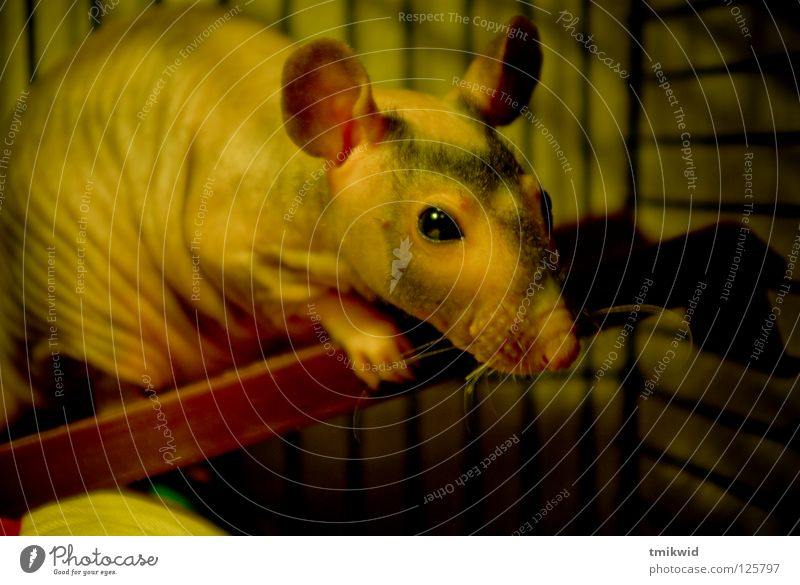 council Recommendation Pet Rat Lovely Mammal Bald Rat Funny fosterling