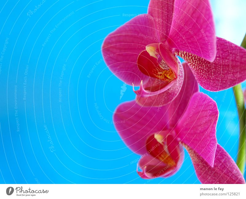 Beautiful Flower Blue Blossom Pink Elegant Exotic Orchid Cyan Fragile Graceful Plant