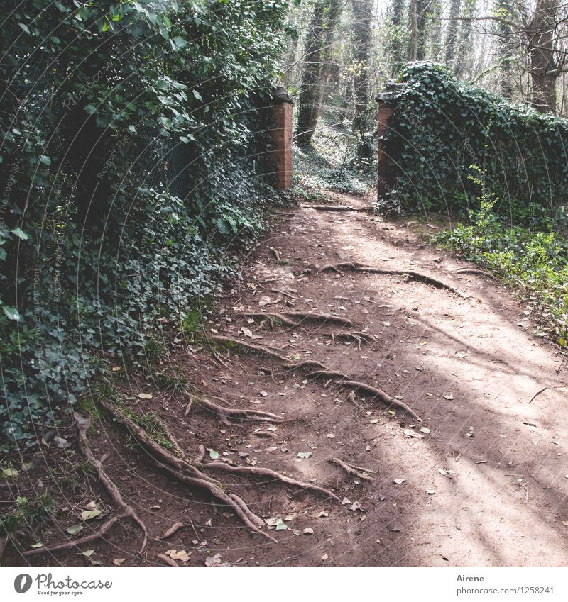 deeply rooted in many ways Tree Ivy Foliage plant Creeper Root Park Lanes & trails Footpath Going Growth Hiking Green Red Gate Main gate Rooted Stumbling block