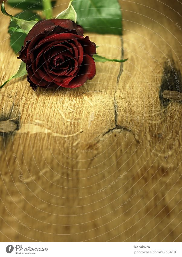 Red rose on a wooden, oak table. Design Beautiful Decoration Desk Table Feasts & Celebrations Valentine's Day Wedding Nature Flower Blossom Heart Love Bright