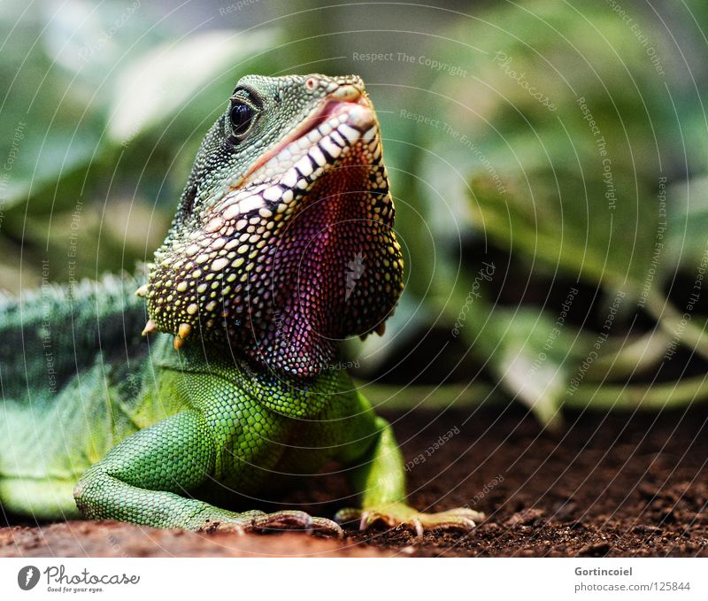 Colorful Chin Exotic Environment Nature Animal Earth Plant Foliage plant Wild animal Animal face Scales Zoo Reptiles Agamidae Water dragon Hide Spine Muzzle