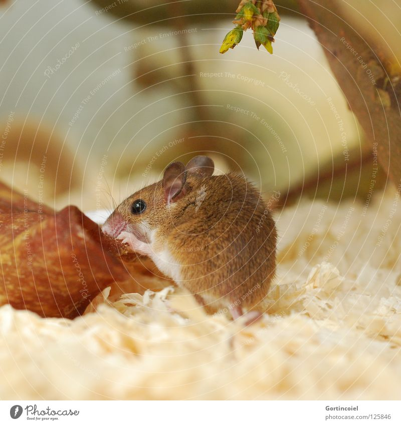 Animal Brown Small Animal face Pelt Cute Mouse Mammal Pet To feed Rodent Terrarium Diminutive Eroded Button eyes Gnaw