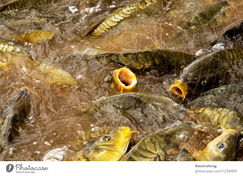 fish pile Animal Wild animal Fish Scales Flock Water To feed Swimming & Bathing Brown Yellow Gold Heap Many Eyes Chaos Muzzle Hideous Colour photo Multicoloured