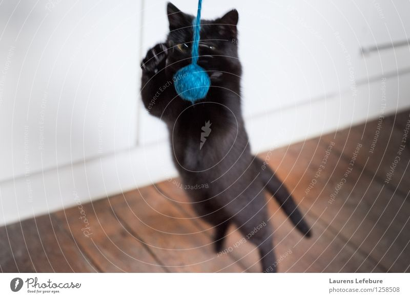 Dreamcatcher Pet Cat Playing Instinct Playful Hunting Jump attacking Wool Ball Cute Funny young attacking cat Depth of field black cat Black Experimental