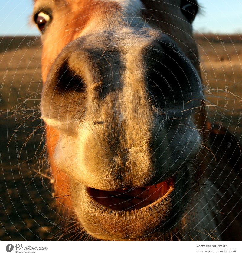snuffel horse Horse Nostrils Field Evening sun Physics Mammal Muzzle Warmth Close-up Nose