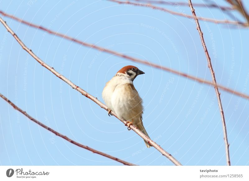 male sparrow on twig Life House (Residential Structure) Garden Man Adults Environment Nature Animal Bird Observe Sit Small Cute Wild Brown branch wildlife close