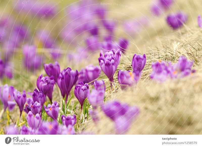 spring crocuses on mountain meadow Beautiful Mountain Garden Environment Nature Landscape Plant Spring Flower Grass Blossom Park Meadow Bright Natural Wild Blue