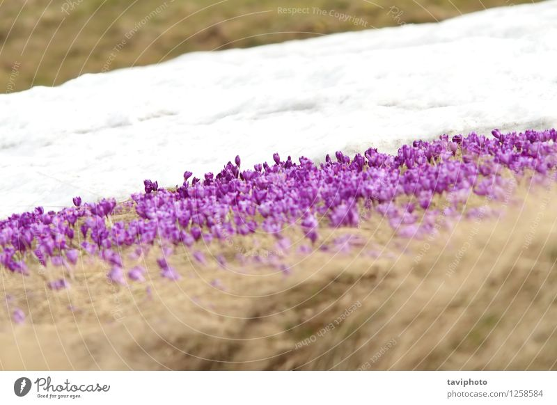 winter and spring on meadow Nature Plant Beautiful Colour White Flower Winter Mountain Life Blossom Meadow Grass Natural Snow Wild Growth