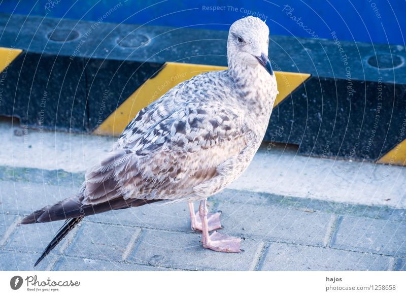 young silver gull sitting in the harbour Nature Animal Water Baltic Sea Harbour Bird Baby animal Blue Silvery gull Larus argentatus Pontoppidan youthful Mole