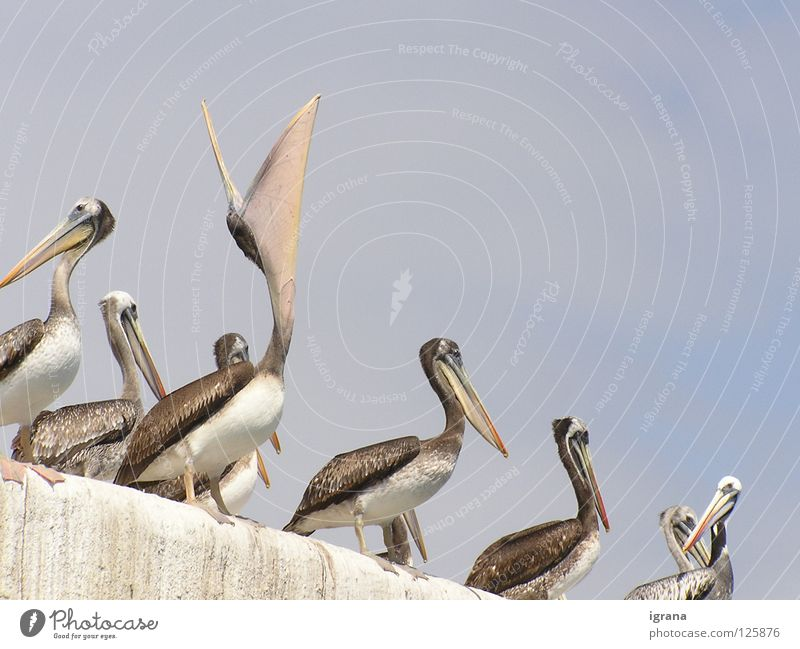 Sky Animal Wall (barrier) Bird Appetite Beak Chile South America Pelican Arica