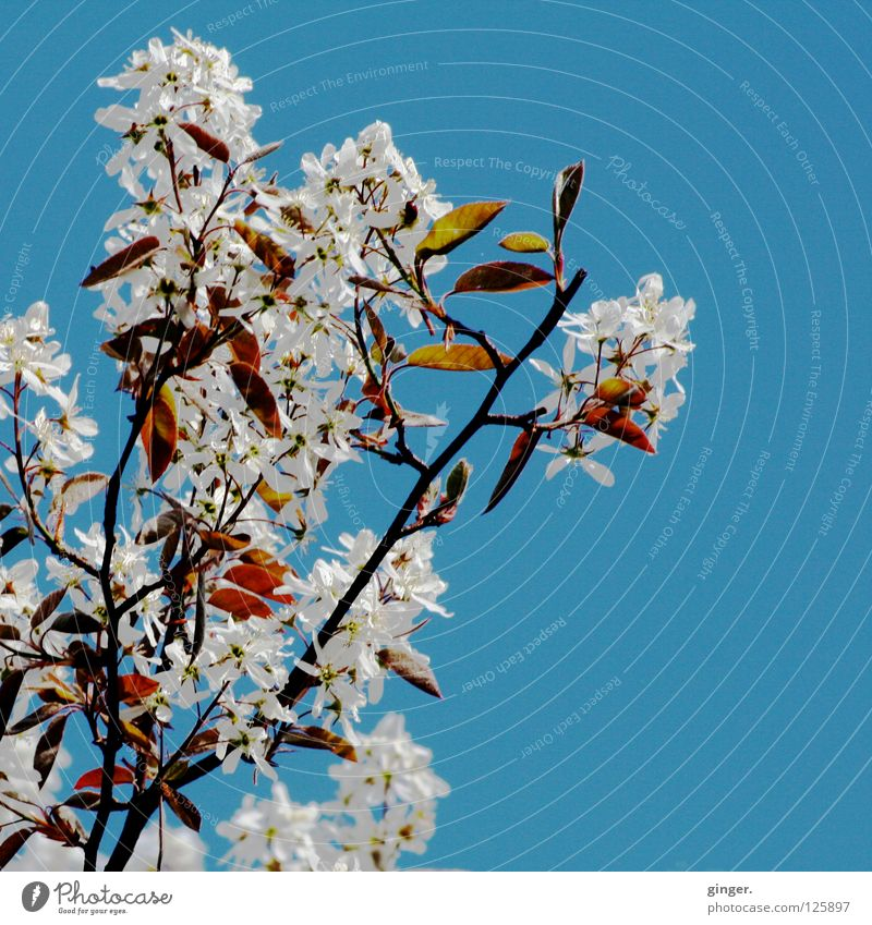 Sky Nature Blue Green White Above Spring Blossom Branch Blossoming Cloudless sky Blossom leave Twigs and branches