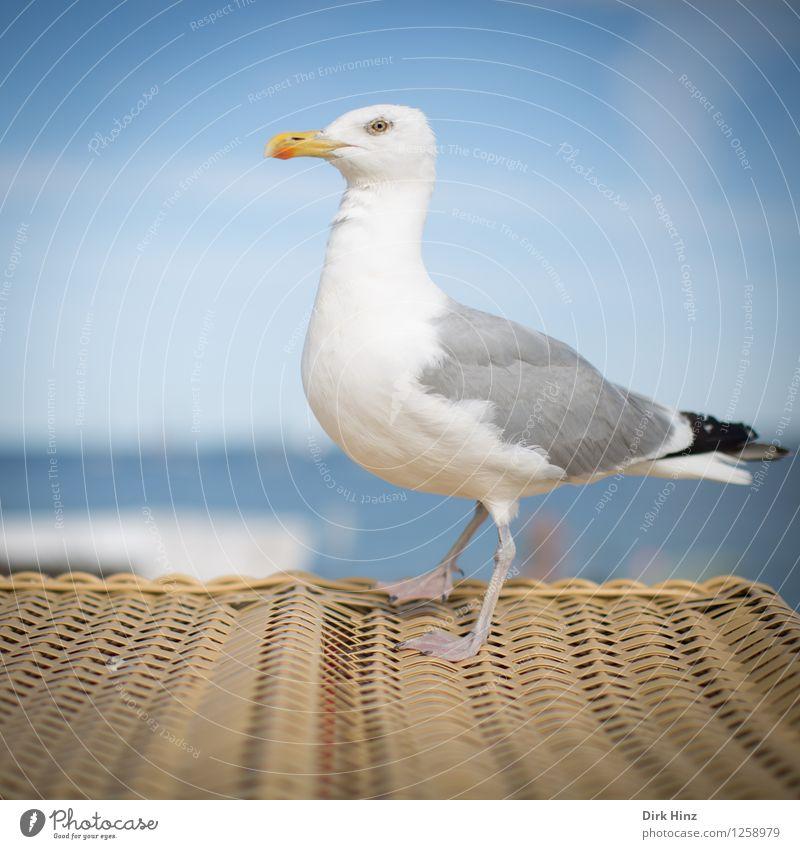 Seagull on beach chair Environment Nature Coast North Sea Baltic Sea Animal Bird 1 Blue Brown White Trust Beach chair Gull birds Observe Kiel Kieler Förde Near