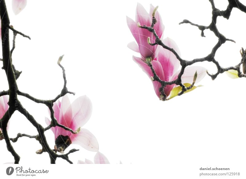 White Tree Plant Red Flower Blossom Spring Bright Abstract Pink Background picture Macro (Extreme close-up) Branch Bud Blossom leave Magnolia plants