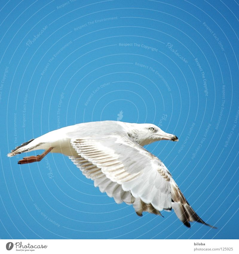 From the schoolbook for seagull flying lessons Seagull White Black Sea bird Bird Animal Poultry Infinity Beautiful Perfect Iron blue Deep Exterior shot seagulls