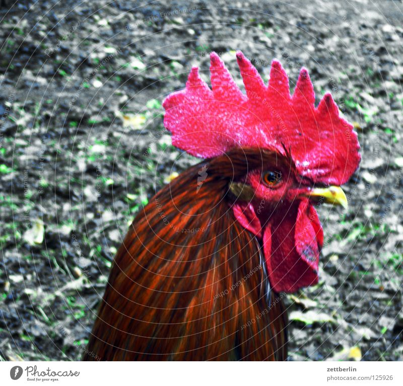Eyes Bird Blaze Feather Agriculture Egg Cocktail Barn fowl Fire department Crow Rooster Animal Cholesterol Cockscomb