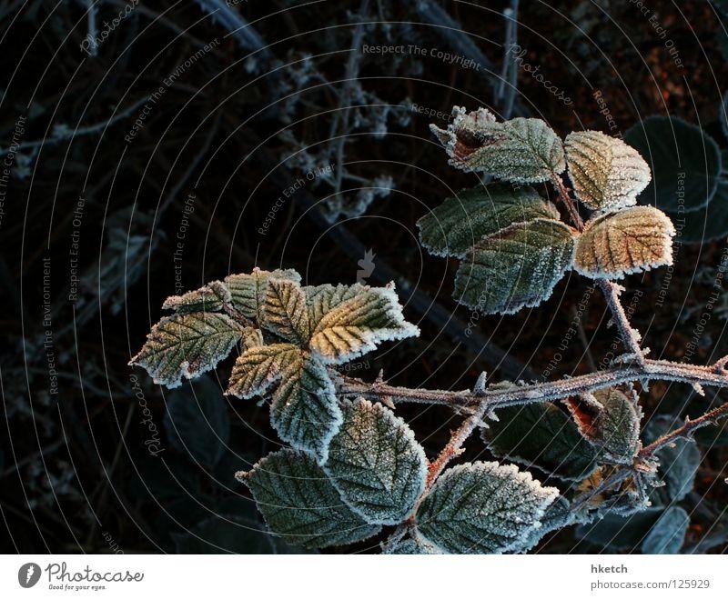 grumbling stalk Bushes Thorny Scratch Sweet Hoar frost Winter Blackberry Blood Harvest Frost Snow