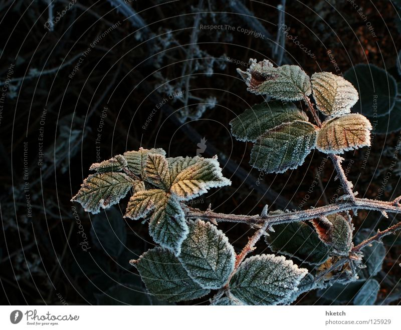 Winter Snow Sweet Frost Bushes Harvest Blood Hedge Hoar frost Thorn Thorny Scratch Blackberry