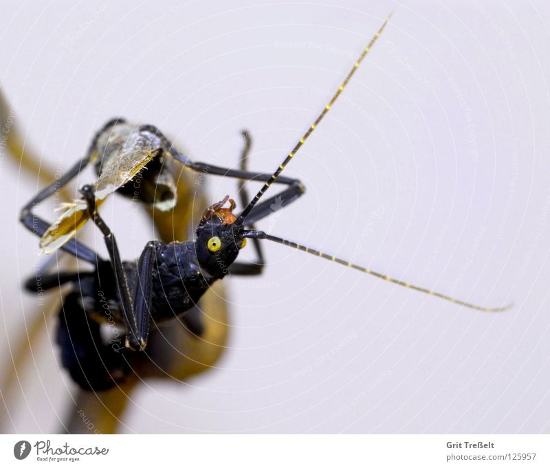 Black Eyes Yellow Posture Insect Hang Frightening Terrarium