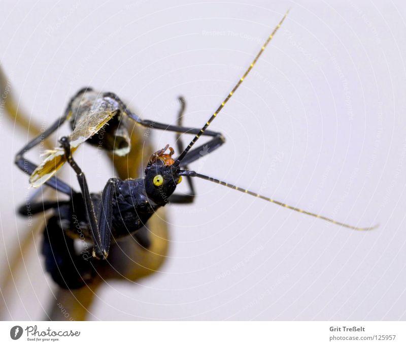 Black Eyes Yellow Posture Insect Hang Frightening Terrarium