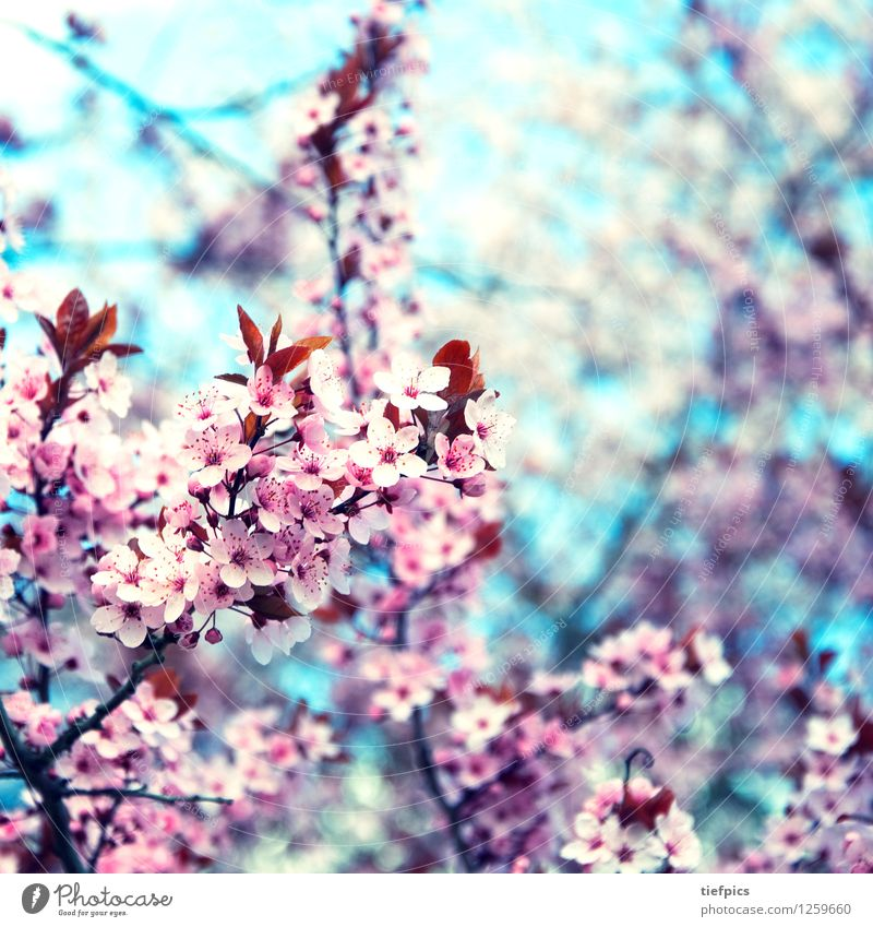Spring Blossom Pink Retro Twig Bud Square Blue sky Cherry Cherry blossom Cherry tree Retro Colours