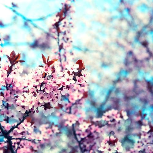 Spring Blossom Pink Retro Twig Bud Square Blue sky Cherry Cherry blossom Cherry tree Retro Colours
