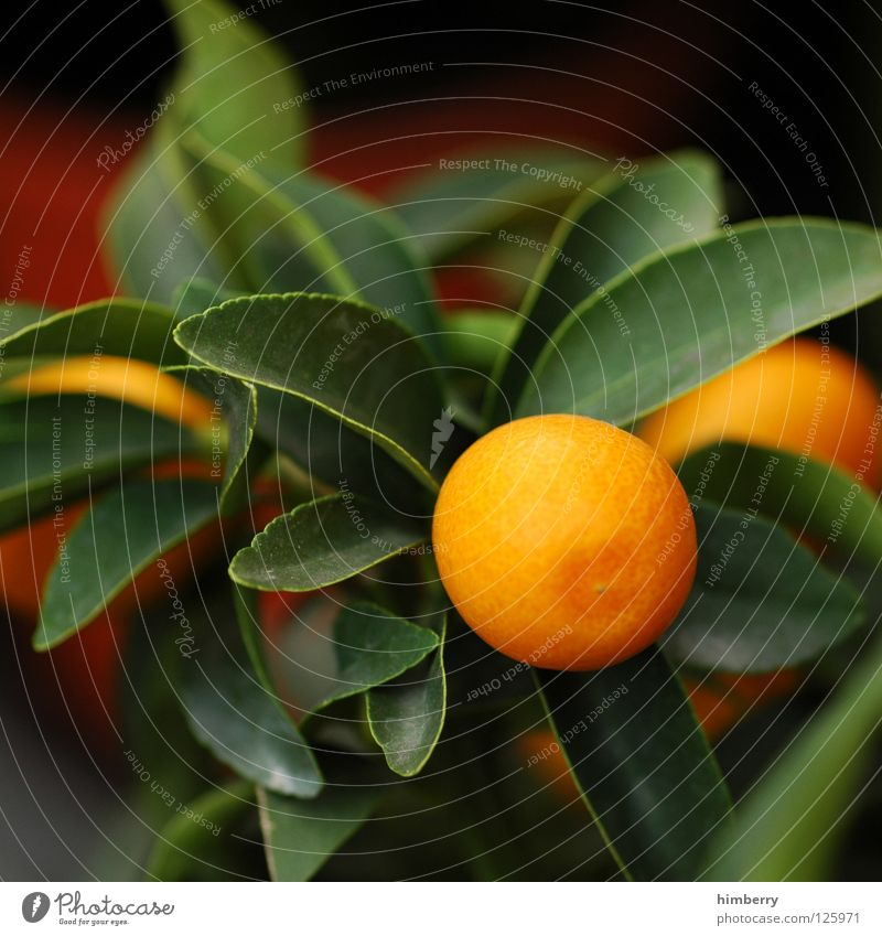 mandarina noon soon Fruit Tangerine Orange Tree Plant Vitamin Healthy Garden Balcony Terrace Design Pot Shaky Time travel Citrus fruits Houseplant Botany Flower