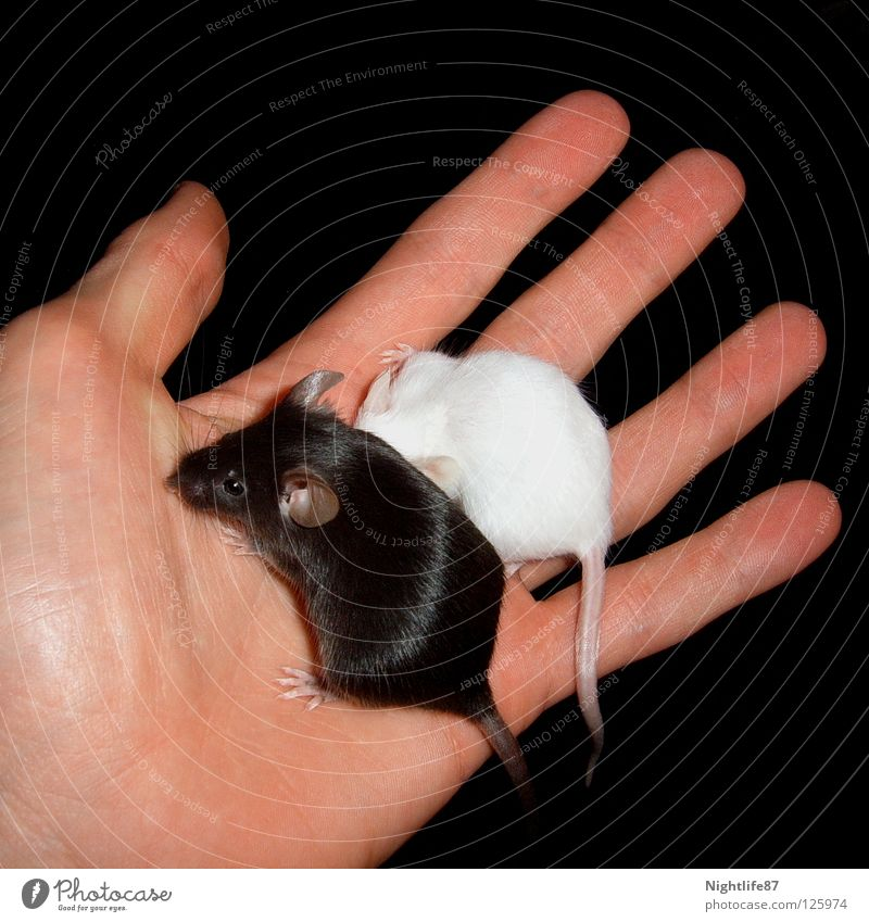 black and white Black White Evil Small Sweet Pet Rat Pests Plagues Hand Rodent Animal Mouse trap Hiding place Cuddling Dark Converse Tails Mammal Might