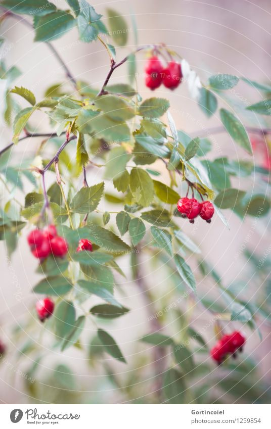 dog rose Environment Nature Plant Autumn Bushes Green Red Autumnal Rose hip Dog rose Fruit Colour photo Exterior shot Detail Copy Space bottom