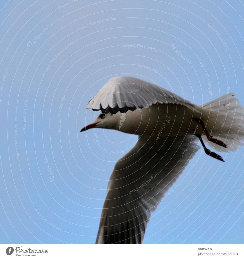 Sky Blue Black Clouds Loneliness Animal Legs Bird Aviation Feather Wing Stomach Hide Seagull Hover Beak