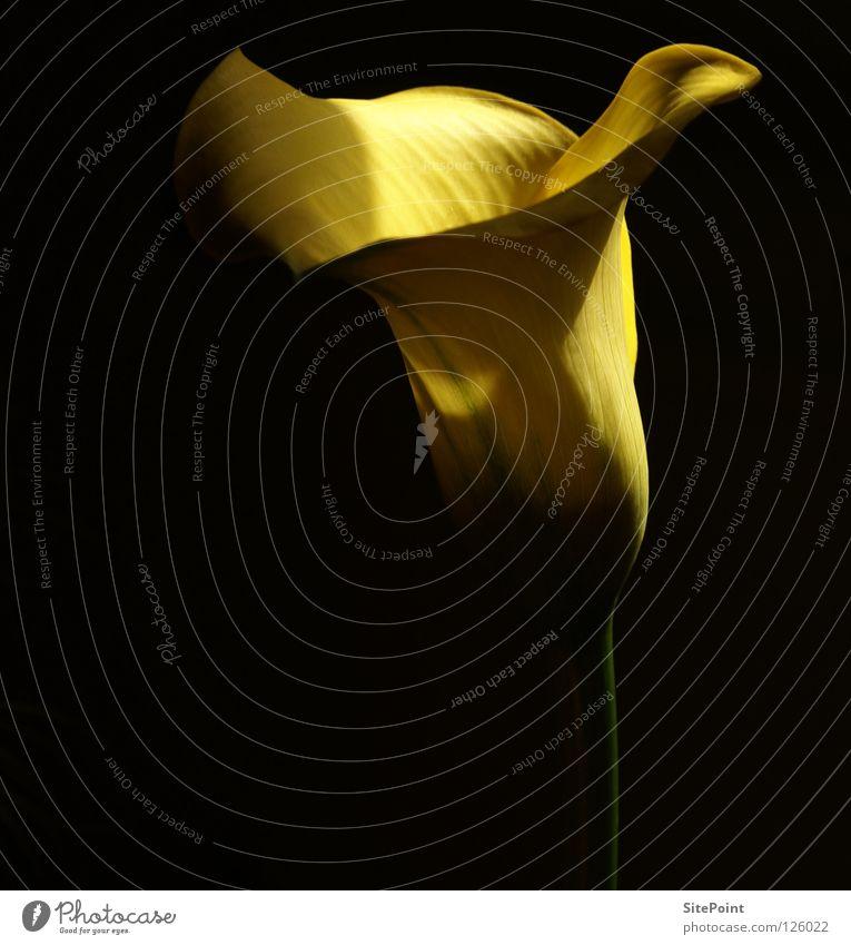 Calla Yellow Flower Black Light Beautiful Delicate nice Elegant