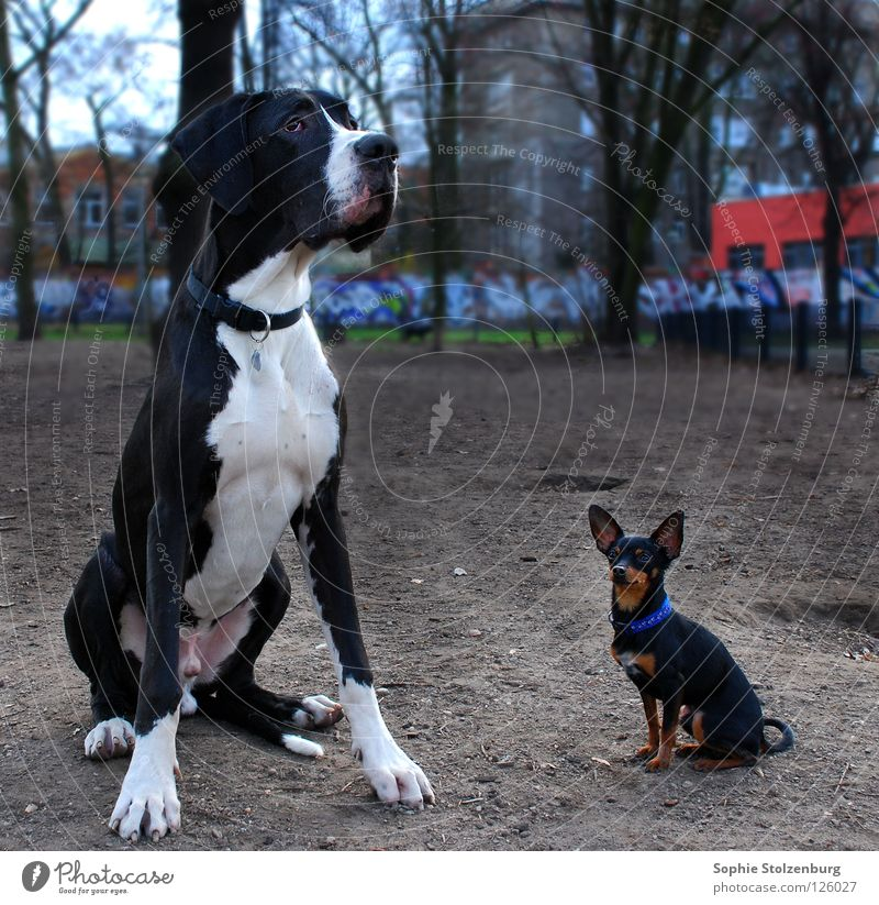 Thick and stupid Great Dane Mastiff Dog Size difference Friendship Mammal big and small miniature pinschers mismatched pair