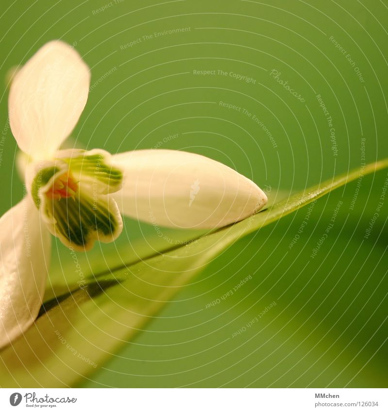 White Flower Green Plant Winter Blossom Spring Open Onion Snowdrop Calyx Bulb flowers