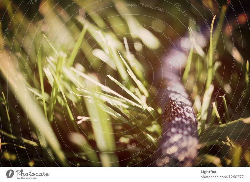 Rekel Snake Animal Pet Wild animal Accuracy Brave Environment Environmental protection Crawl Wiggly line Gray Grass Claustrophobia Poison Bite Colour photo