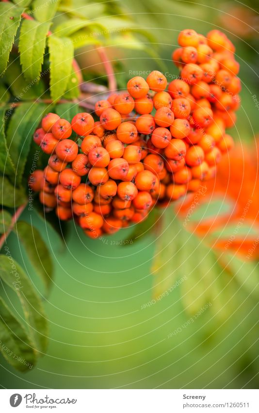 Nature Plant Green Summer Red Leaf Forest Small Park Fruit Field Round Hang Rowan tree Rowan tree leaf